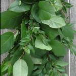 Salal plus Eucalyptus